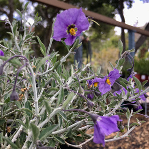 Solanum umbeliferum v. incanum 'Indians Grey' - 1 gallon