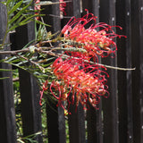 Grevillea 'Ned Kelly' (Mason's Hybrid) - 5 gallon