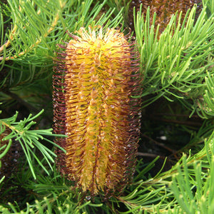 Banksia spinulosa 'Schnapper Point' - 1 gallon