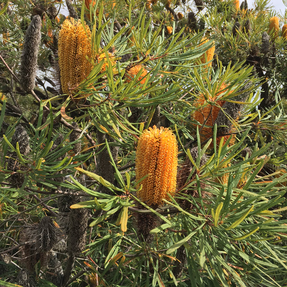 Banksia spinulosa 'Red Rock' - 5 gallon