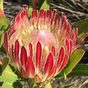 Protea obtusifolia - red flowered - 5 gallon