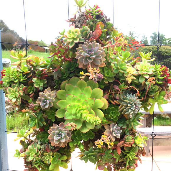 Succulent Wreath - Starfish - large (21