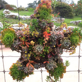 "Succulent Wreath - Starfish - large (21"")"