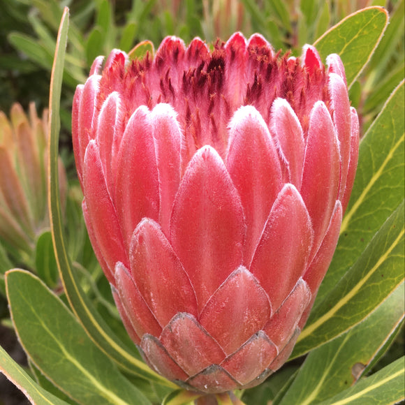 Protea 'Pink Ice' - 2 gallon