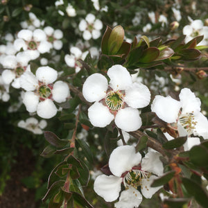 Leptospermum macrocarpum 'Copper Sheen' - 1 gallon
