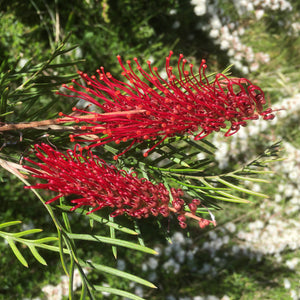 Grevillea 'Red Hooks' - 1 gallon