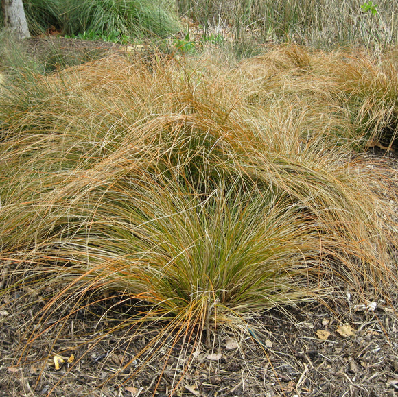 Carex testacea - 1 gallon
