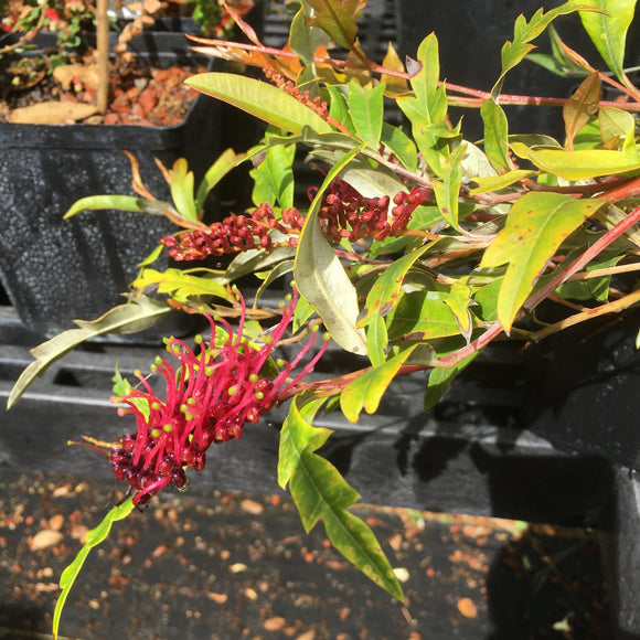 Grevillea 'Poorinda Royal Mantle' - 1 gallon