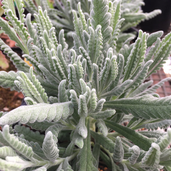 Lavandula 'Goodwin Creek Grey' - 1 gallon