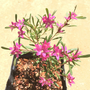 Crowea exalata 'Ryan's Star' - 1 gallon