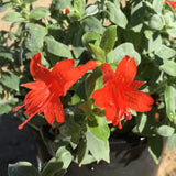 Epilobium septentrionale 'Select Mattole' - 1 gallon