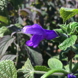 Salvia 'Costa Rica Blue' - 1 gallon plant