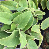 Phlomis russeliana - 1 gallon