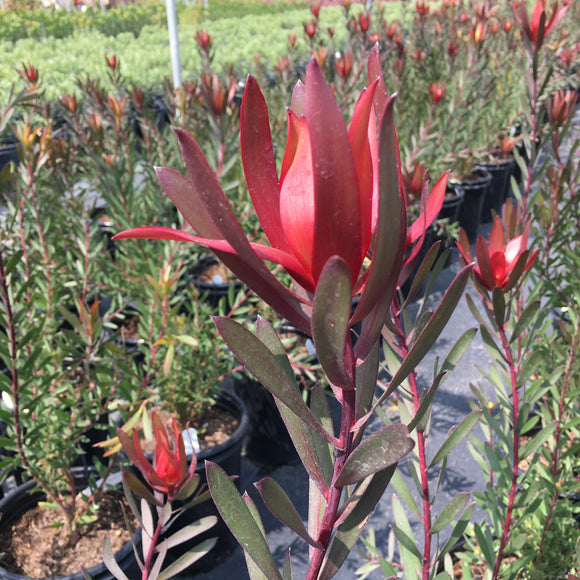 Leucadendron 'Silvan Red' - 1 gallon