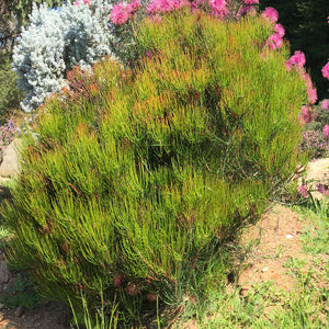 Calothamnus gracilis 'Spring Torch'- 1 gallon plant