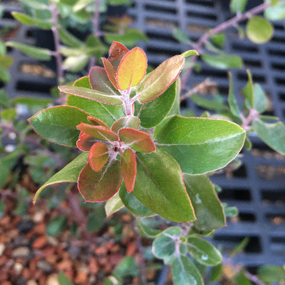 Arctostaphylos 'Sunset' - 1 gallon