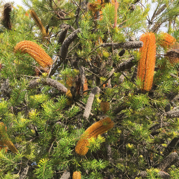 Banksia 'Giant Candles' - 1 gallon plant