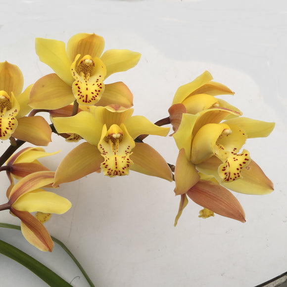 Cymbidium Orchid #2 - 1 gallon