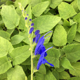 Salvia 'Big Swing' - 1 gallon plant