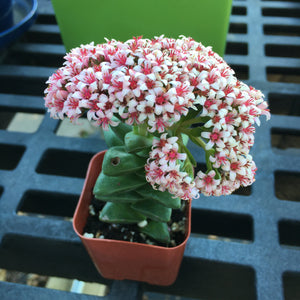 Crassula 'Morgan's Beauty' - 2 inch plant