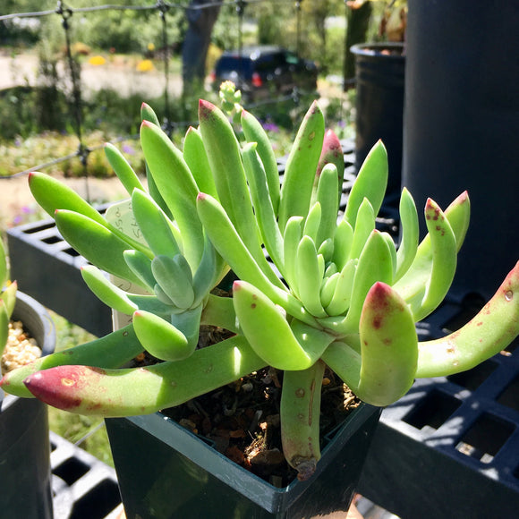 Dudleya caespitosa 'Lucy in the Sky' - 3.5 inch