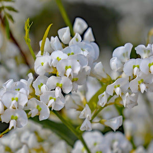 Hardenbergia violacea 'White Out' - 1 gallon