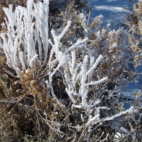 icy sagebrush