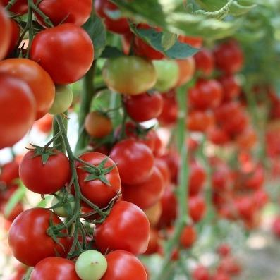 Tomatoes | It's time to get growing!