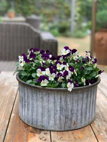 Violas potted