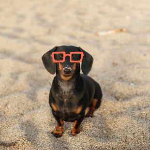Here's why your dachshund digs so much