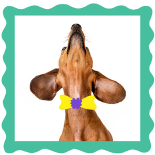 How to clean your dachshund's ears