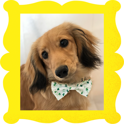 Lucky Doxie Bowtie