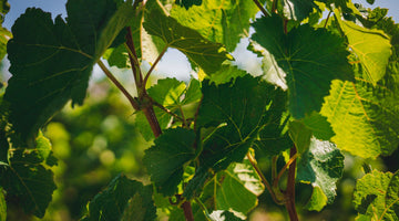 5 Stars from Candice Chow for our Riesling, Rosé, 3 Acres and Single Vineyard Pinot Noir