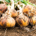 Onion Bulb Extract for Scars