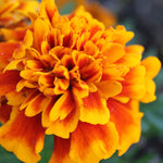 Calendula for Radiation Relief, Skin Recovery