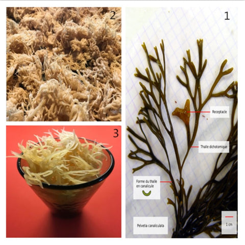 100% Natural Jamaican Sea Moss (raw, wild crafted)  450g