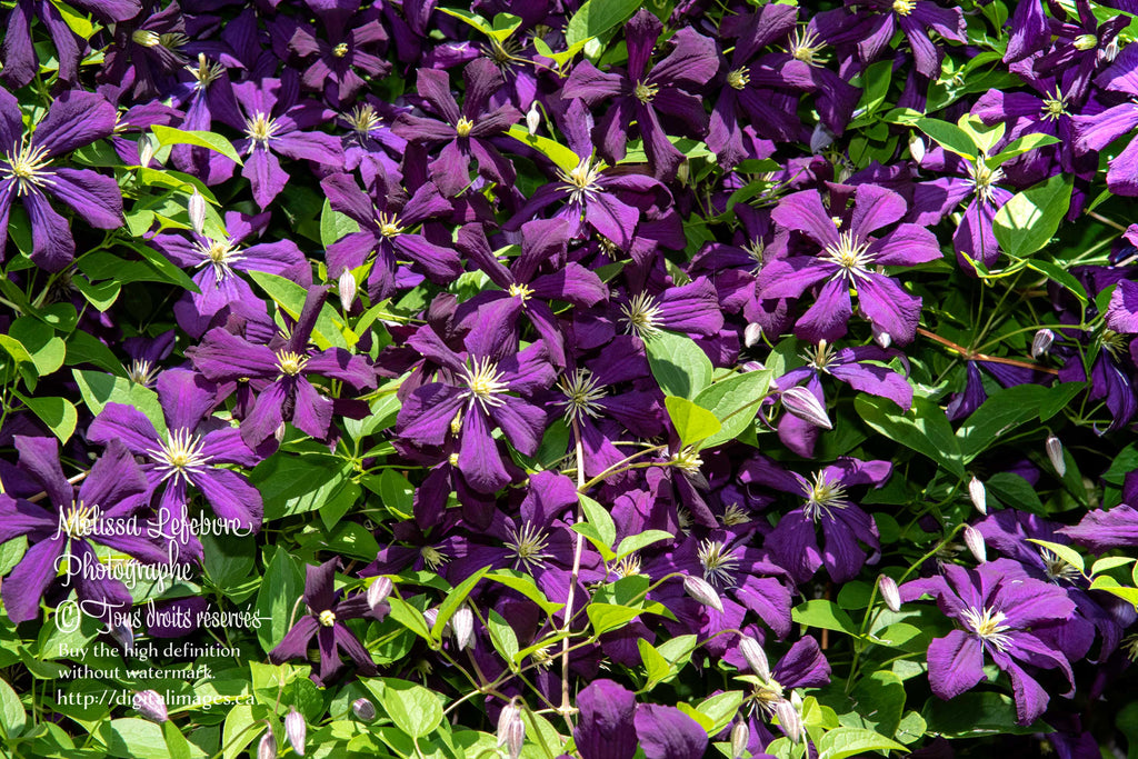 Clematis viticella « Blue Belle » en floraison - Digital Images Download