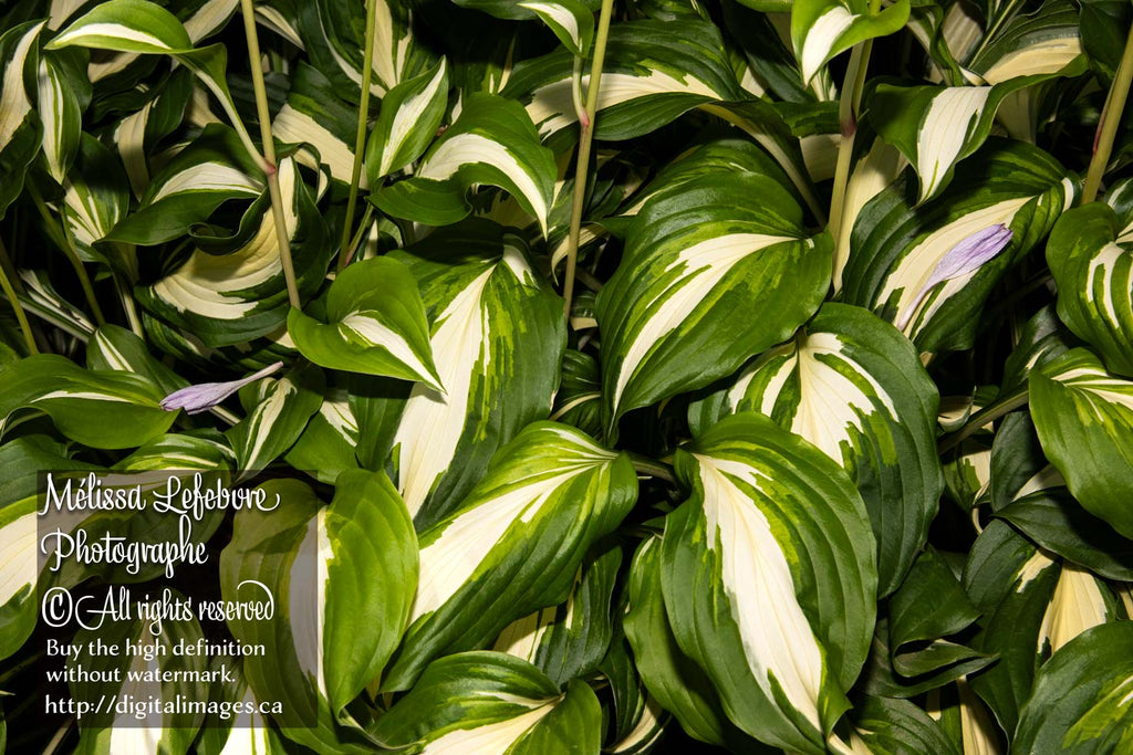 Feuillage de Hosta plantaginea - Digital Images Download
