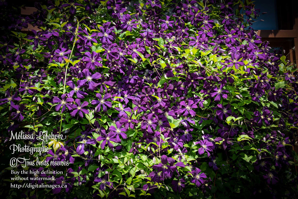 Clematis viticella « Blue Belle » assombrie - Digital Images Download