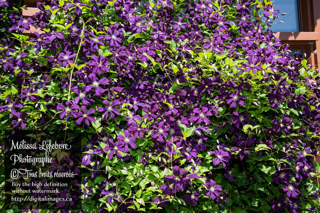 Clematis viticella « Blue Belle » plante grimpante - Digital Images Download