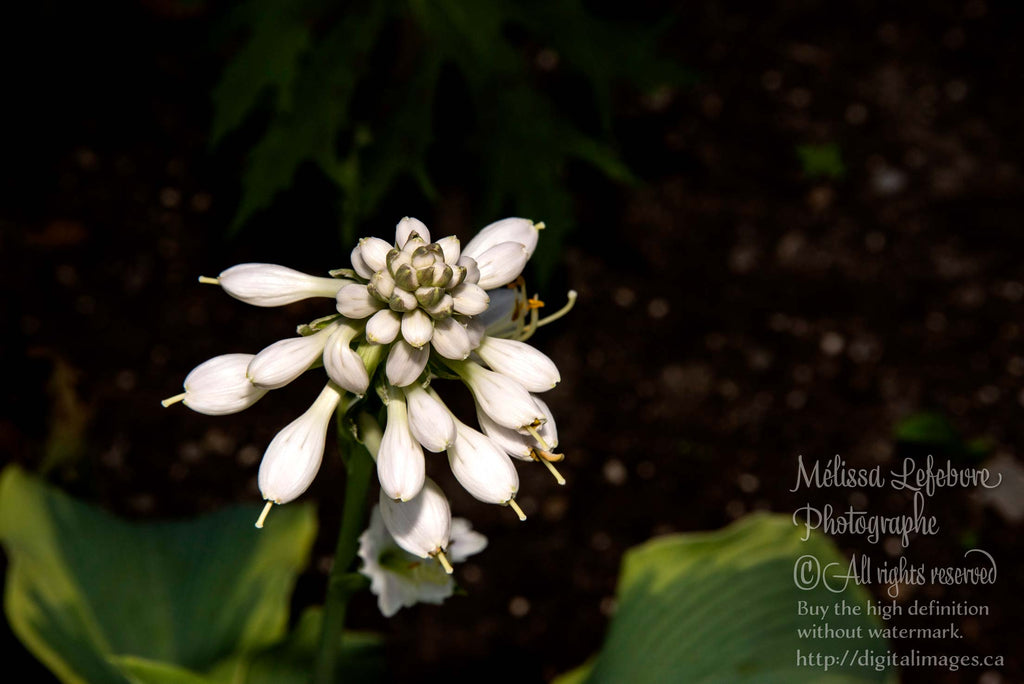Fleurs bourgeon Hosta  blanche - Digital Images Download