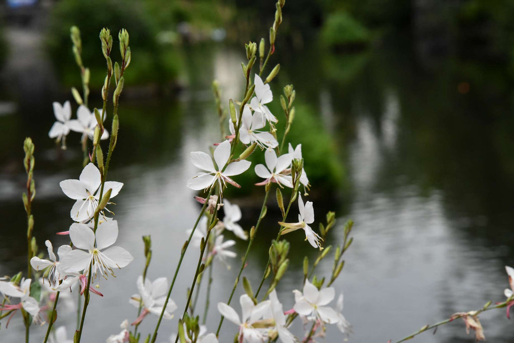 Fleurs Gaura Blanche - Digital Images Download
