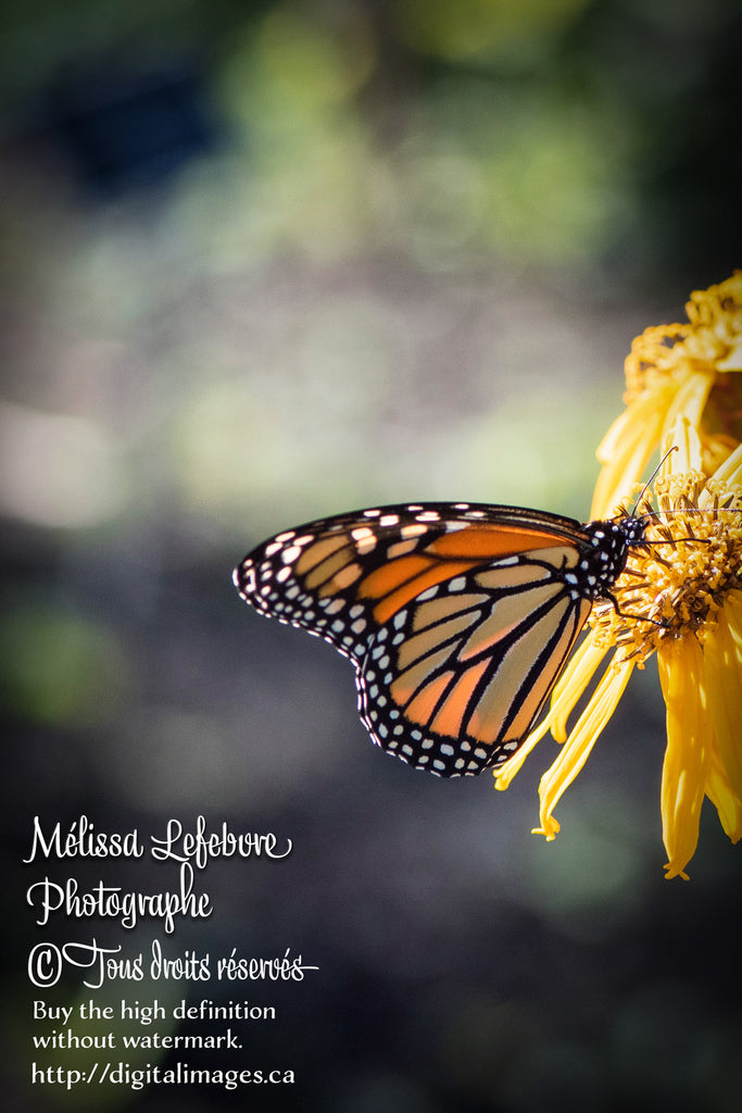 Papillon Monarque sur fleurs jaunes. - Digital Images Download