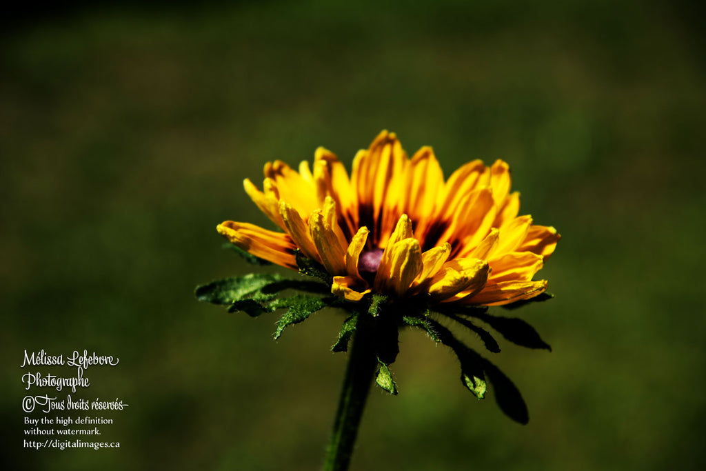 Fleurs de Tournesol - Pack de 6 images - Digital Images Download