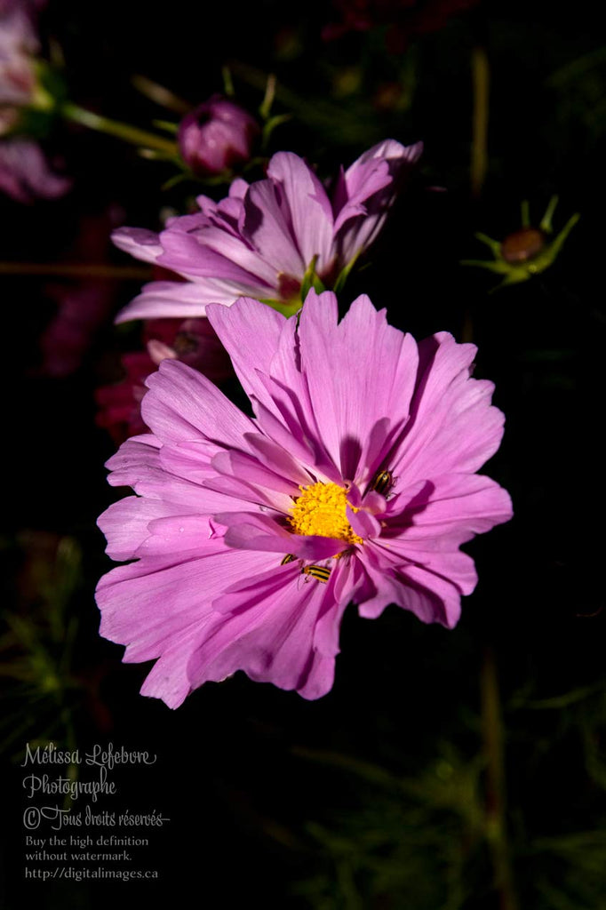 Fleur cosmos bipenné mauve - Digital Images Download