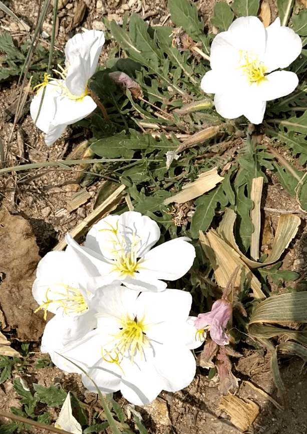 Evening Primrose Plasma Flower Essence - Gaia's Whole Healing Essentials