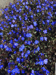 Veronica Georgia Blue (Creeping Speedwell) 1 Litre Plant