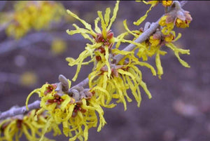 Hamamelis Arnold Promise (Witch Hazel) 5 Litre Pot