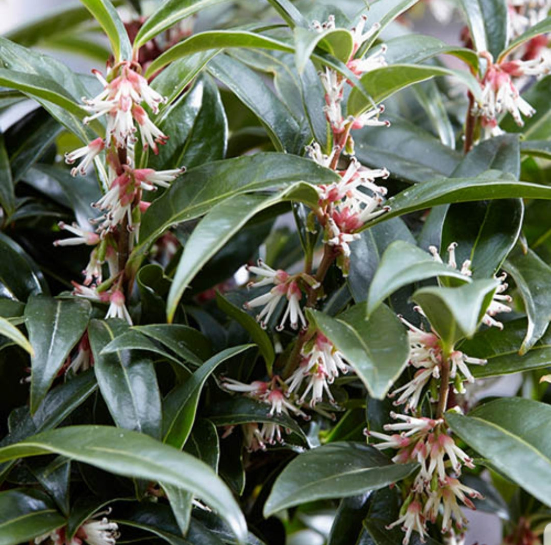 Sarcococca Winter Gem (Sweet Box) 17cm Pot