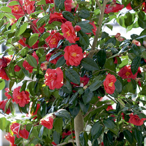 Camellia Adolphe Audusson - 4 Litre Pot. (70-80cm high above pot)